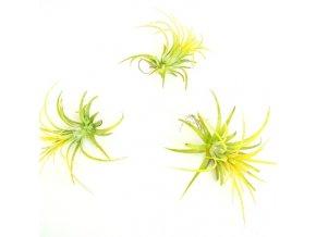 Gardners.cz Tillandsia ionantha yellow