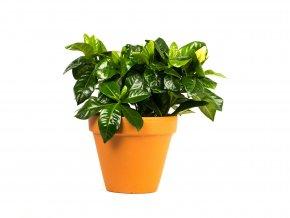 Gardners.cz Gardenia Jasminoides, průměr 9 cm