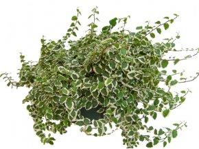 Ficus pumila mix, průměr 11cm