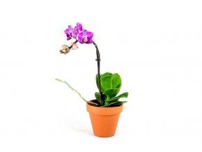 Gardners.cz Phaleonopsis mini