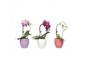Gardners.cz Phaleonopsis s květináčem 6 cm