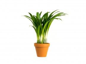 Gardners.cz Dypsis Lutescens (areca), průměr 7 cm