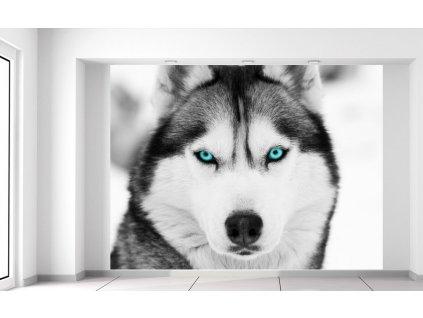 Fototapeta Husky a hluboký psí pohled  Extra gramáž a tloušťka (180-212g/m2 a 100um)