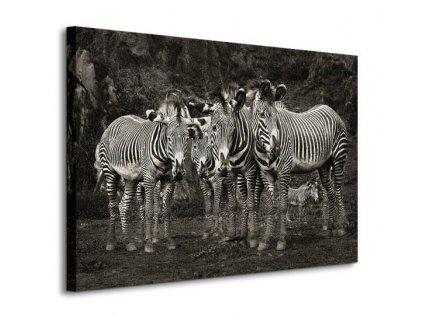Obraz na plátně Čtyři zebry 80x60cm  Tištěný v HD