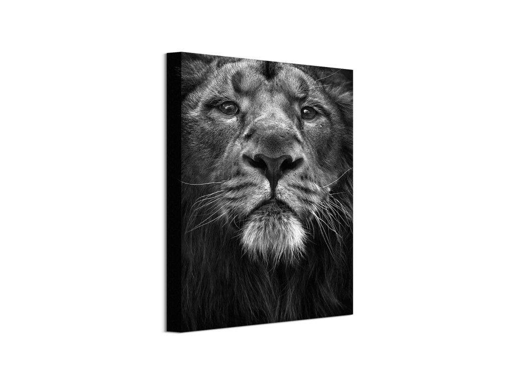 Vászonkép Erős oroszlánkirály Cano Marina (Válassza ki a méretet (sz x m) 60 x 80 cm)