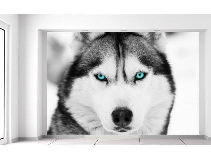Fotótapéta Husky ás mély kutyatekintet  + Ajándék