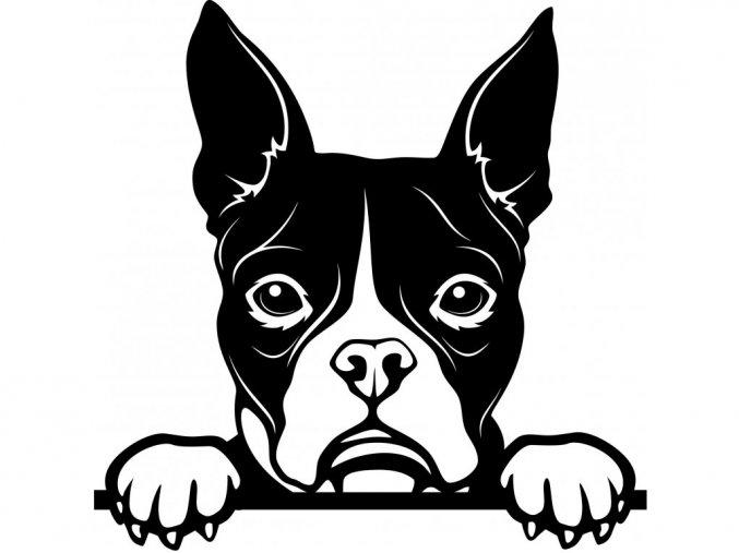 Samolepka pes - Bostonský teriér