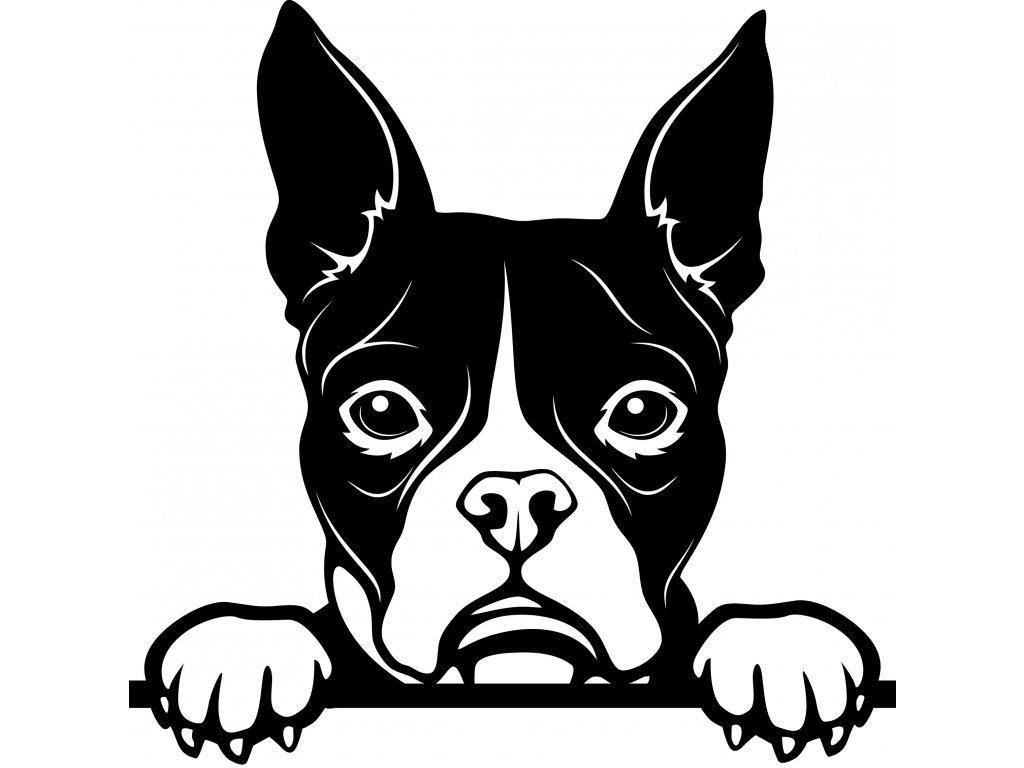 Samolepka pes - Bostonský teriér Barva: Bílá, Rozměry samolepky ( šířka x výška ): 20 x 20 cm