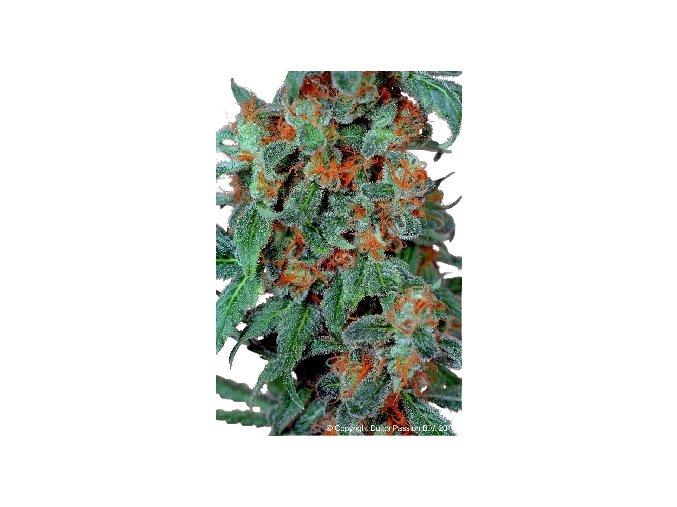 Orange Bud 10 ks
