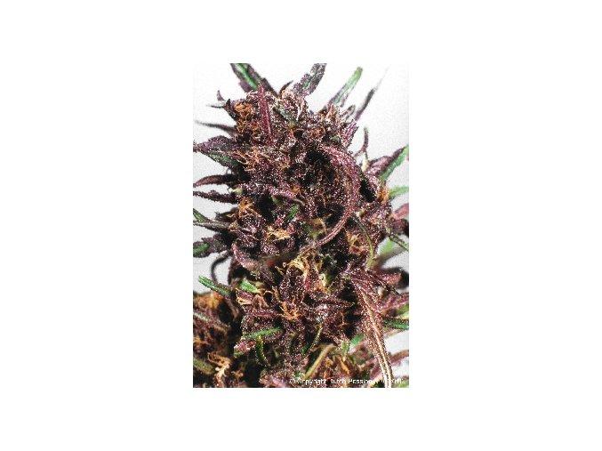 Purple#1 - 10 ks
