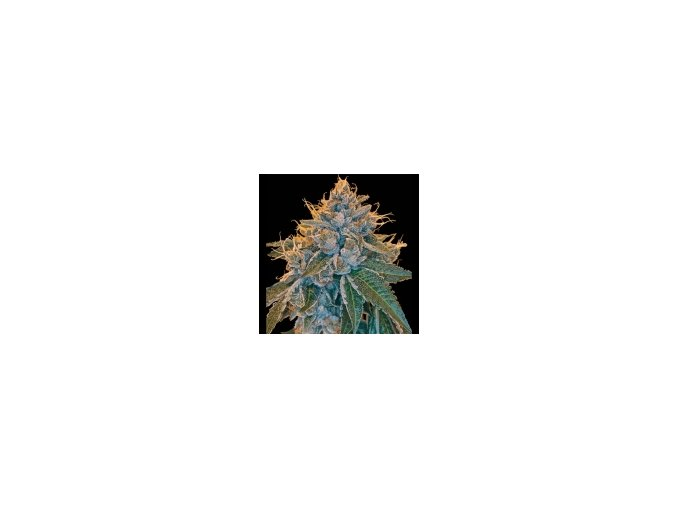 Reserva Privada Kosher Kush 6 ks