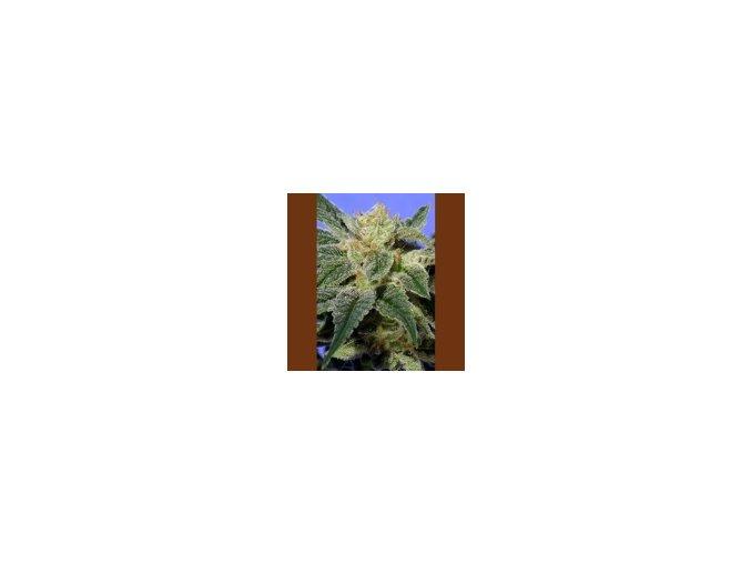 T.H Seeds Kushage 5 ks