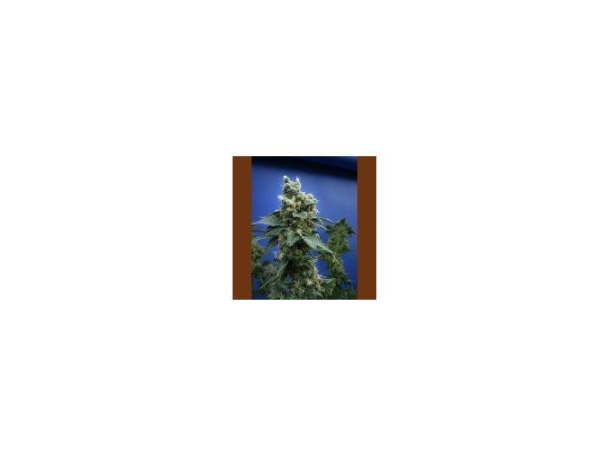 T.H Seeds Sage n Sour 5 ks