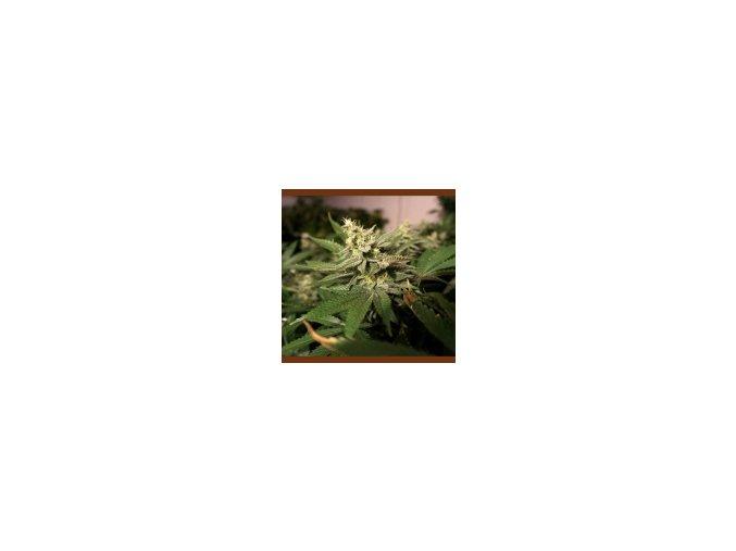 T.H Seeds Mkage 10 ks