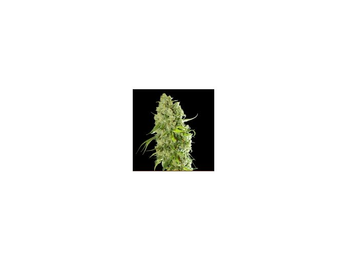 Resin seeds Cannatonic 10 ks
