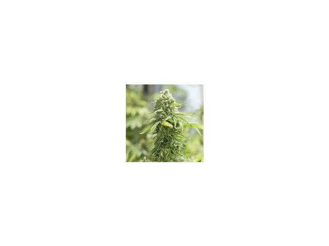 Resin seeds critical haze 10 ks