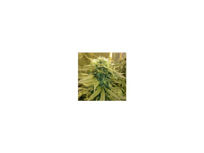 Resin seeds Dieseltonic 3 ks