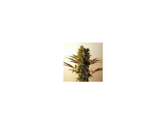 Resin seeds Hammershark 10 ks