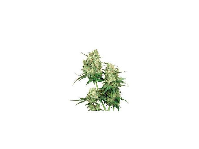 Maple Leaf Indica 10 ks Reguler