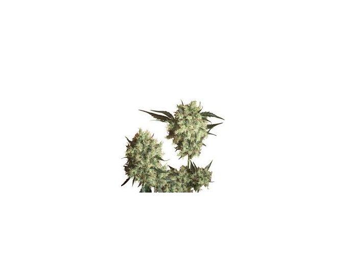 Marley`s Collie 10 ks Reguler