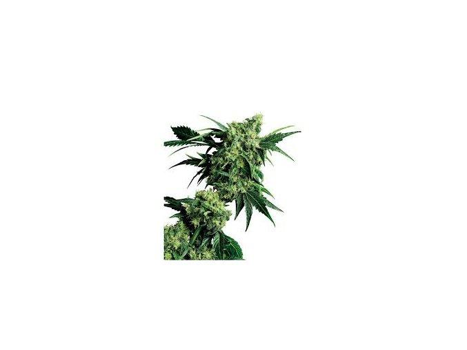 Mr Nice G13 x Hashplant 10 ks Reguler
