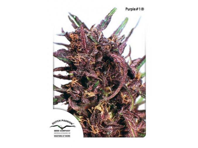 Purple1 Dutch Passion