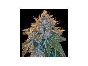 Reserva Privada Kosher Kush 3 ks