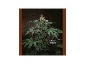 T.H Seeds Bubblegum 10 ks