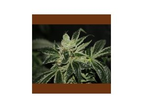 T.H Seeds Darkstar 5 ks