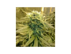 Resin seeds Dieseltonic 10 ks