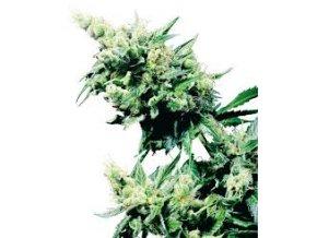 Hash Plant 10 ks Reguler