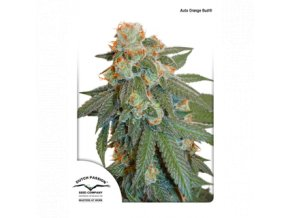 dutch passion auto 3er auto orange bud 1