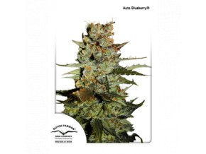 dutch passion auto 7 pack auto blueberry 1