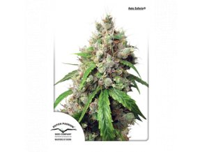 dutch passion auto 100 pack auto euforia