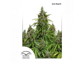 dutch passion auto 100 pack auto mazar