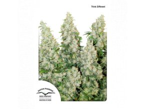 dutch passion auto 100 pack think different