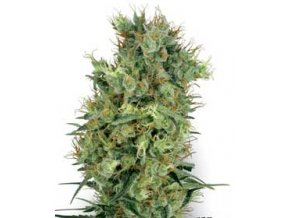 Cali Orange Bud 10 ks Reguler