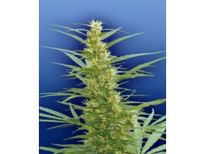 Mixed Sativa Diva`s 10 ks Reguler