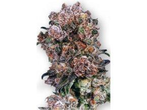 Blueberry 5 ks