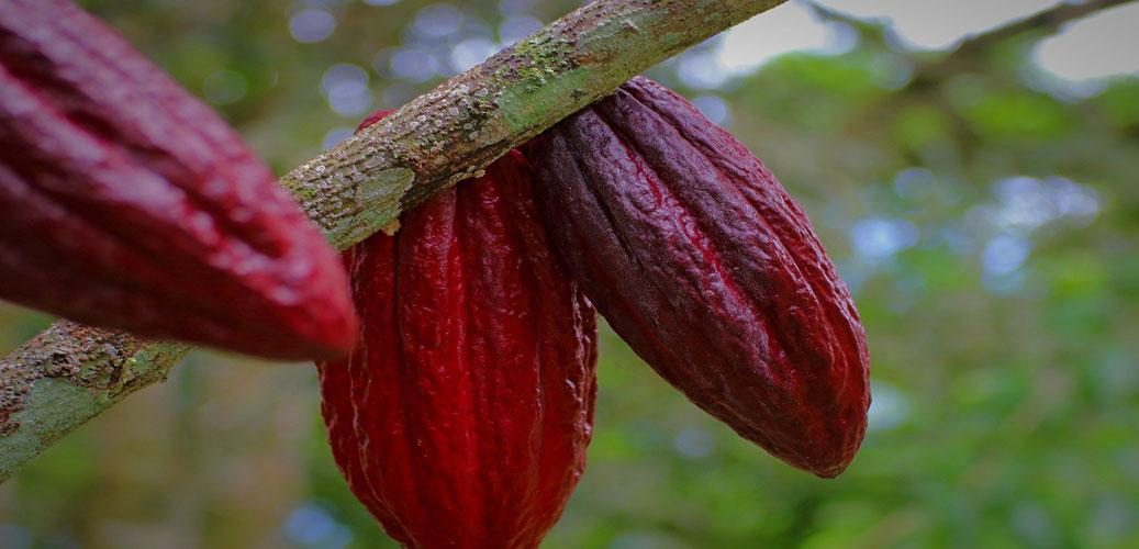 Kakaové-boby-Gurmeteka