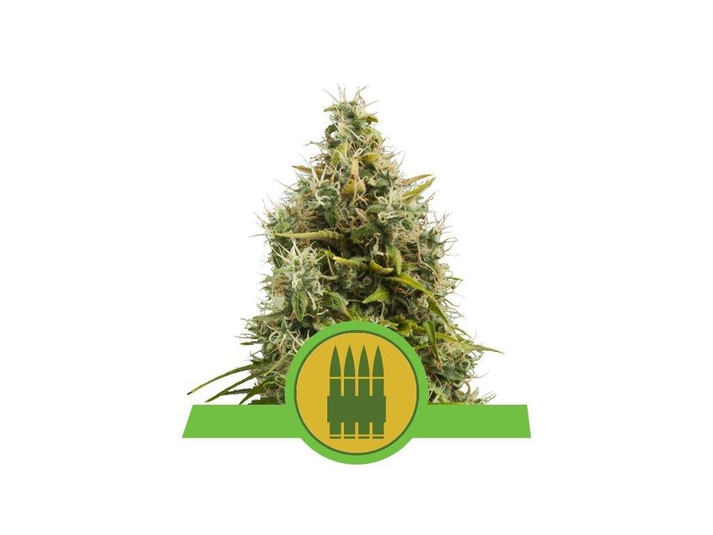 Royal Queen Seeds Royal AK Automatic, feminizovaná semínka marihuany, samonakvétací, 10ks