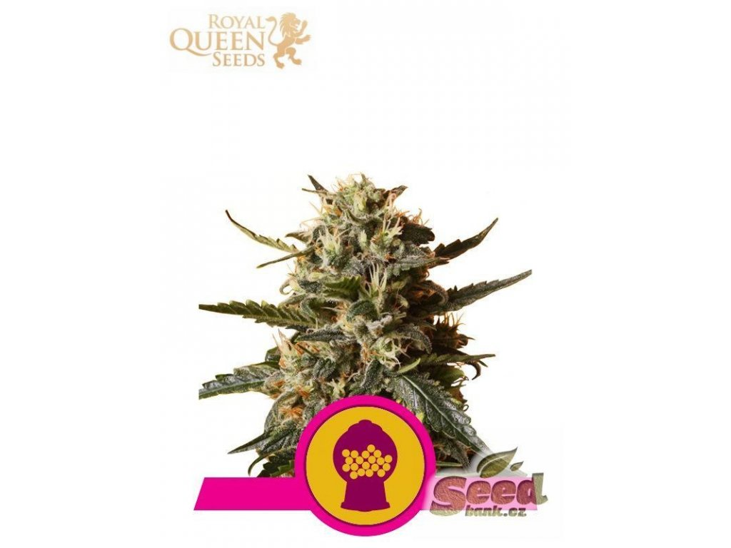 Royal Queen Seeds Bubblegum XL, feminizovaná semena marihuany, 10ks