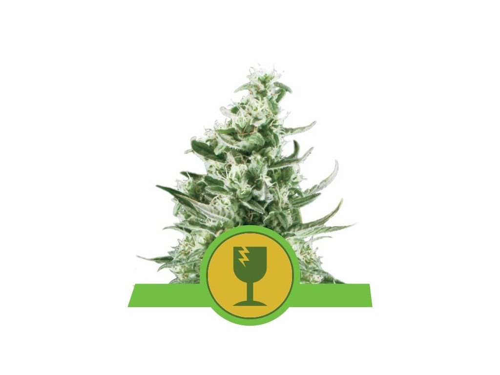 Royal Queen Seeds Royal Critical Automatic, feminizovaná semena konopí, samonakvétací, 3ks