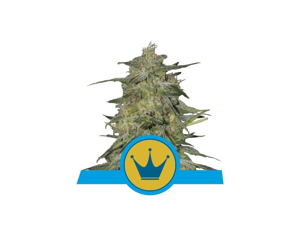 Royal Queen Seeds Royal Highness, feminizovaná semínka konopí, 10ks
