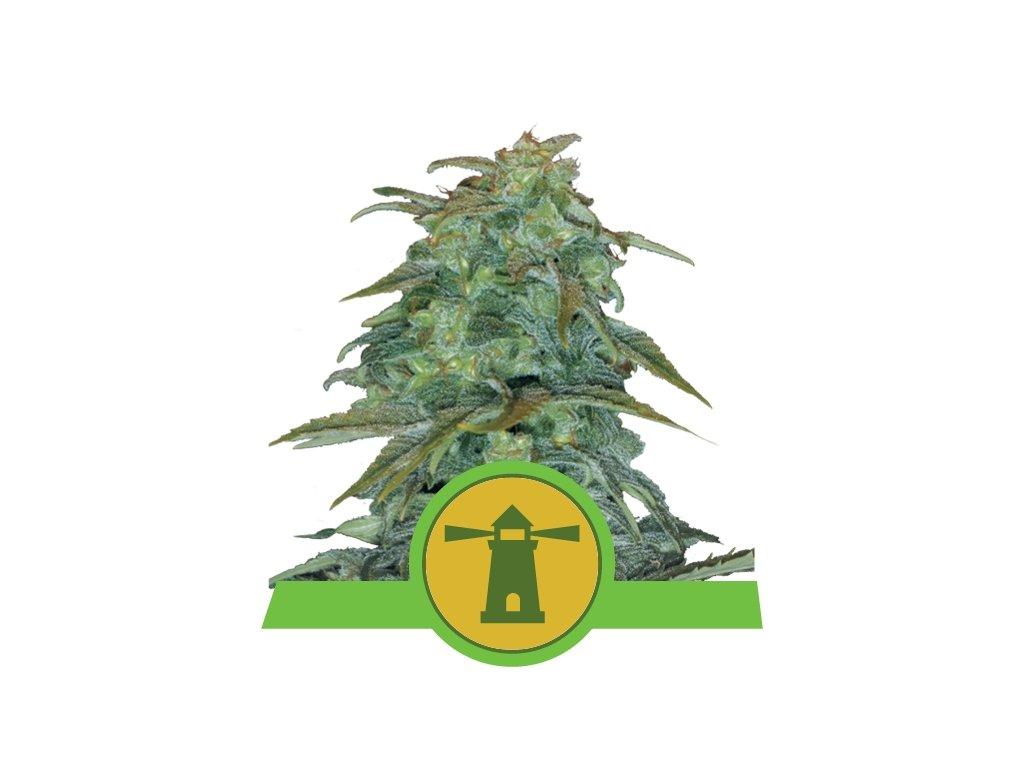 Royal Queen Seeds Royal Haze Automatic, feminizovaná semínka marihuany, samonakvétací, 10ks