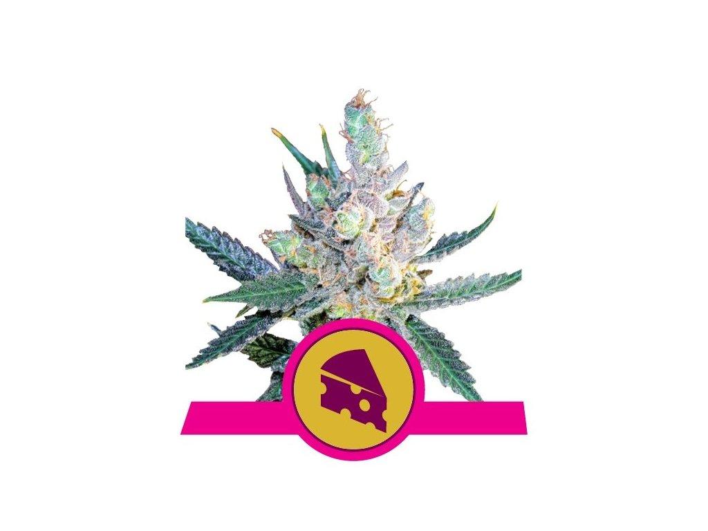 Royal Queen Seeds Royal Cheese Fast, feminizovaná semena marihuany, fast, 5ks
