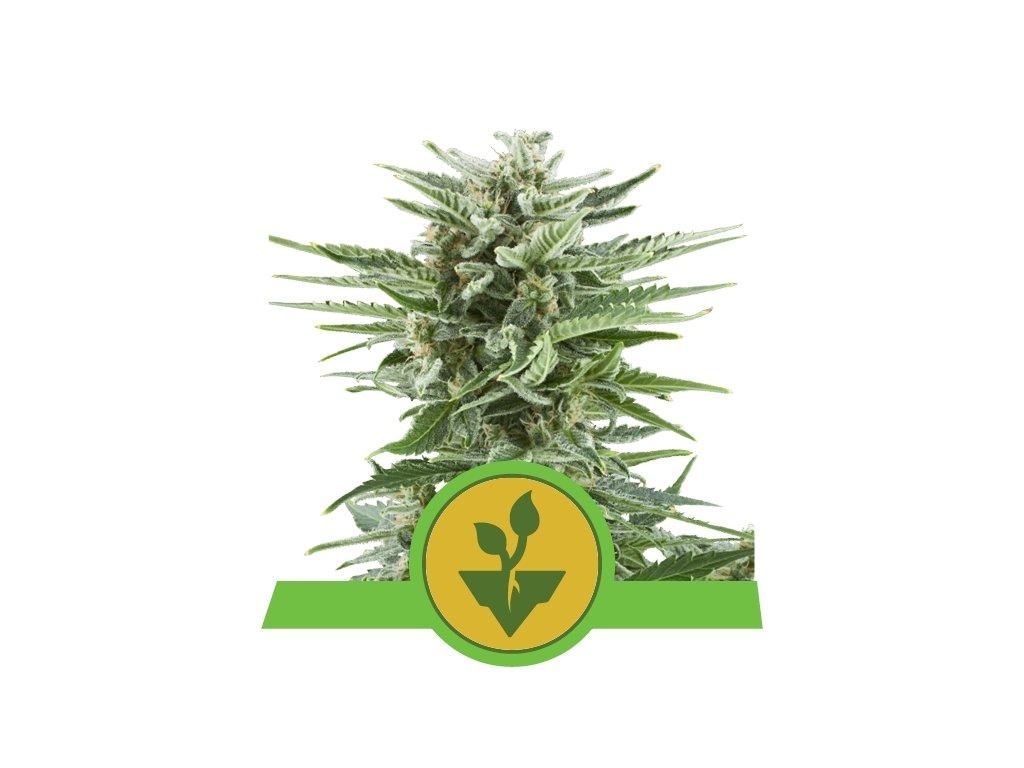 Royal Queen Seeds Easy Bud, feminizovaná semínka konopí, samonakvétací, 10ks