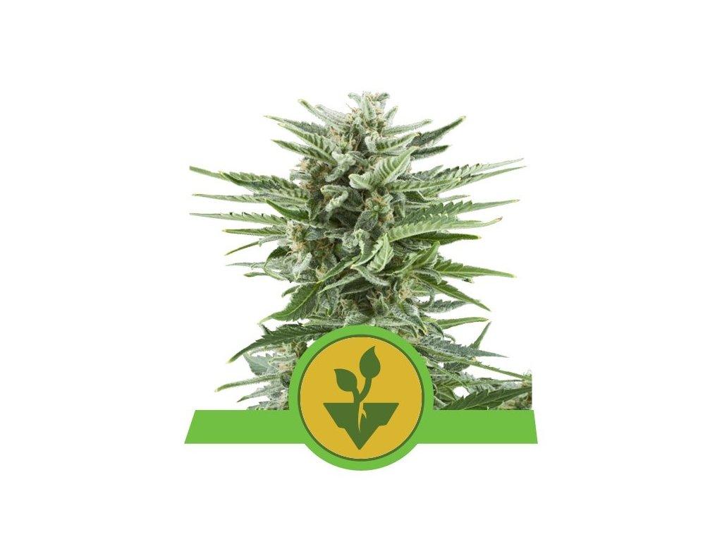 Royal Queen Seeds Easy Bud, feminizovaná semena konopí, samonakvétací, 3ks