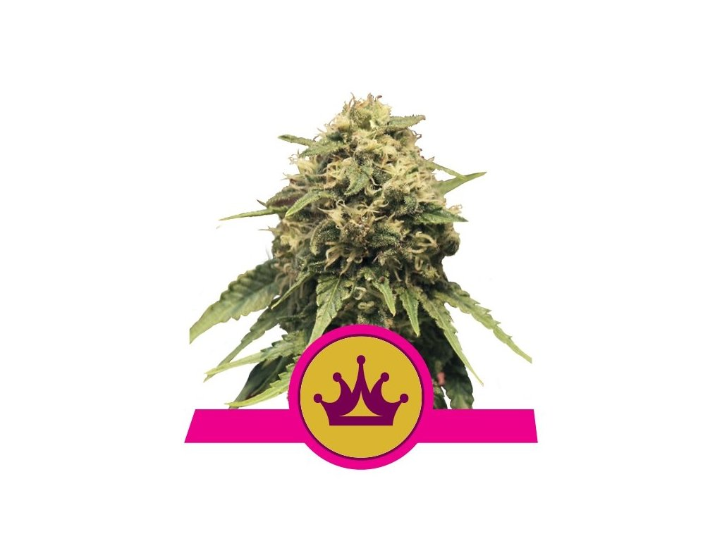 Royal Queen Seeds Special Queen #1, feminizovaná semena konopí, 5ks