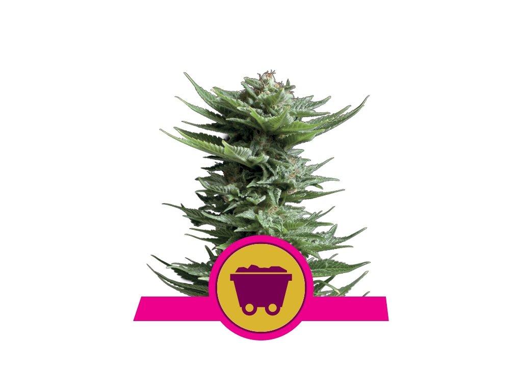 Royal Queen Seeds Shining Silver Haze, feminizovaná semínka marihuany, 10ks